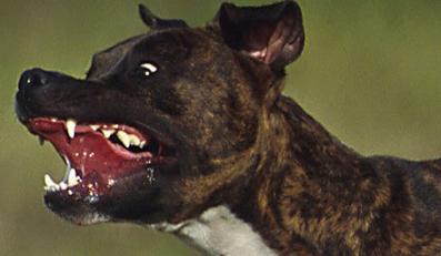 To psy atakują dzieci. Jednak winne są nie zwierzęta, a ich lekkomyślni właściciele