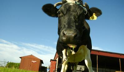 W pierwszym półroczu 2011 roku wołowina będzie bardzo droga