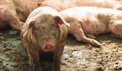 Pijana świnia oduczy Ukraińców picia?