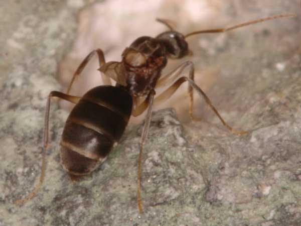 Szalone mrówki pożrą komputery NASA?