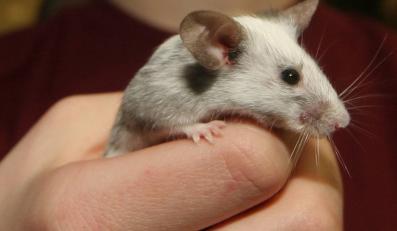 Naukowcy wykryli u myszy gen, który zwiększa ryzyko popadnięcia w alkoholizm